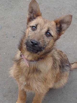 Fanni, Terriermischlingshündin, ca. 9 Monate 21396016uv