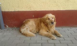 Amigo, Golden Retriever Rüde, ca. 5 Jahre 21493252pj