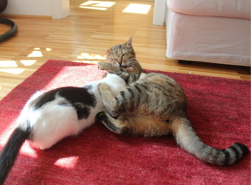 Nala  wunderschöne flauschige Tigerin mit CouchFaible