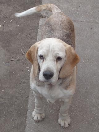 Hetty, Beagle-Basset-Mischlingshündin, ca. 7 Jahre 21663391rw