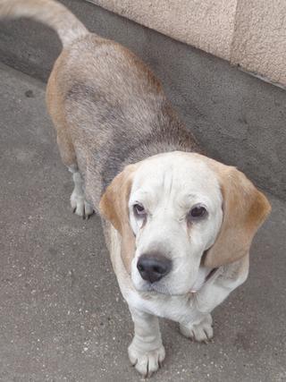 Hetty, Beagle-Basset-Mischlingshündin, ca. 7 Jahre 21663392om