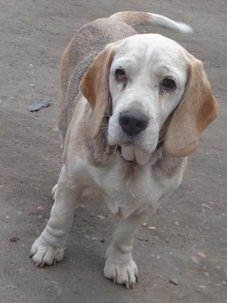 Hetty, Beagle-Basset-Mischlingshündin, ca. 7 Jahre 21663393pe