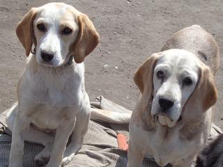 Hetty, Beagle-Basset-Mischlingshündin, ca. 7 Jahre 21663394tf