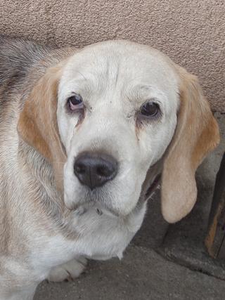 Hetty, Beagle-Basset-Mischlingshündin, ca. 7 Jahre 21663397tr