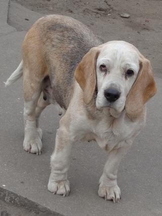 Hetty, Beagle-Basset-Mischlingshündin, ca. 7 Jahre 21663399si