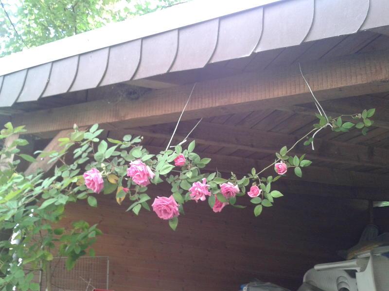 um welche rose handelt es sich wer kann bitte helfen mein sch ner garten forum. Black Bedroom Furniture Sets. Home Design Ideas