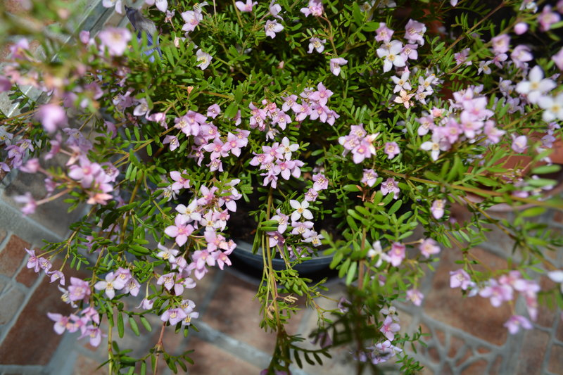 boronia anemonifolia winterhart