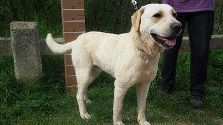 Bronson., Labradormischlingsrüde, ca. 2 Jahre 21820655iy