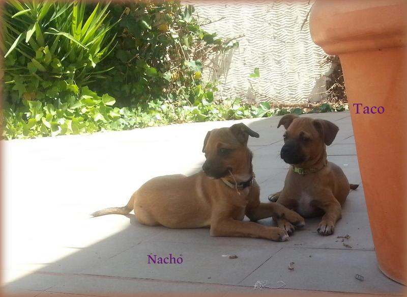 Bildertagebuch - Nacho, herziger kleiner Hundeschnuggel ...VERMITTELT! 21876189oo