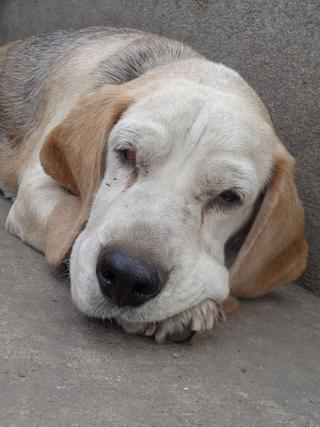 Hetty, Beagle-Basset-Mischlingshündin, ca. 7 Jahre 21940750bl