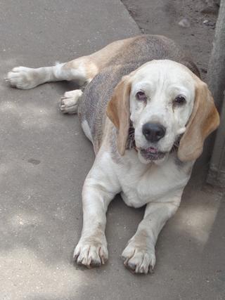 Hetty, Beagle-Basset-Mischlingshündin, ca. 7 Jahre 21940751le