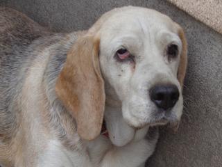 Hetty, Beagle-Basset-Mischlingshündin, ca. 7 Jahre 21940756pt