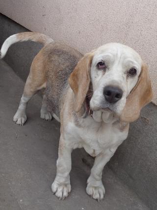 Hetty, Beagle-Basset-Mischlingshündin, ca. 7 Jahre 21940759aa