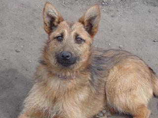 Fanni, Terriermischlingshündin, ca. 9 Monate 21941067vr