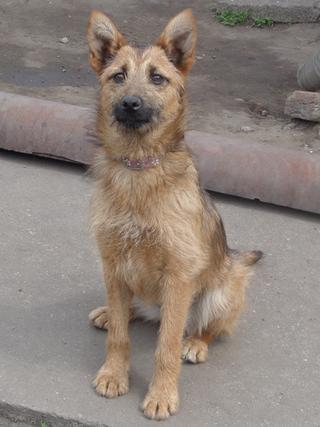 Fanni, Terriermischlingshündin, ca. 9 Monate 21941069nk