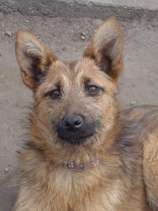 Fanni, Terriermischlingshündin, ca. 9 Monate 21941074qk