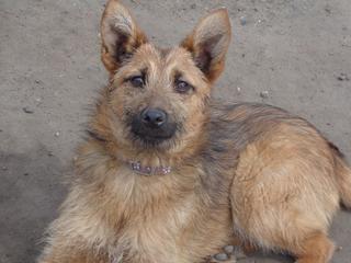 Fanni, Terriermischlingshündin, ca. 9 Monate 21941075uk