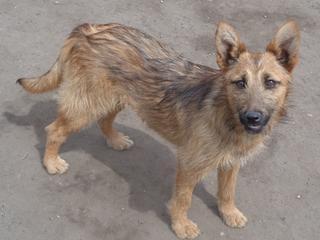 Fanni, Terriermischlingshündin, ca. 9 Monate 21941076so