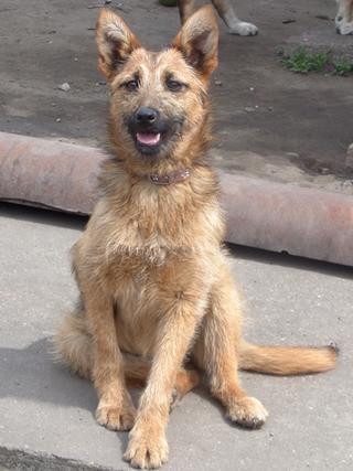 Fanni, Terriermischlingshündin, ca. 9 Monate 21941150nw