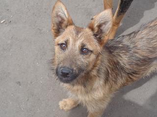Fanni, Terriermischlingshündin, ca. 9 Monate 21941151lt