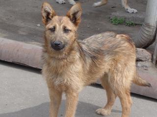 Fanni, Terriermischlingshündin, ca. 9 Monate 21941152qo