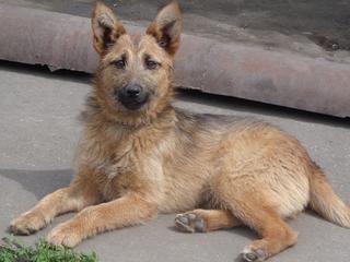 Fanni, Terriermischlingshündin, ca. 9 Monate 21941153gq