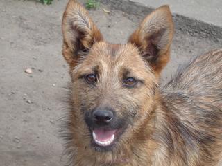 Fanni, Terriermischlingshündin, ca. 9 Monate 21941154ml