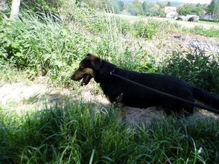 Cesar, Schäferhundmischlingsrüde, ca. 1 Jahr 21989996ya