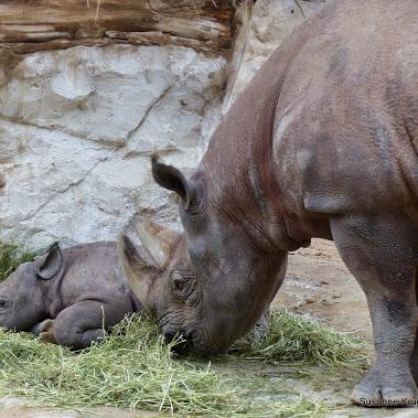 Nashorn Geburt Live
