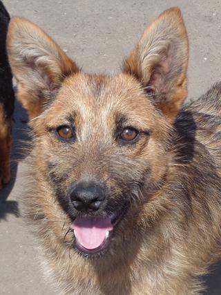 Fanni, Terriermischlingshündin, ca. 9 Monate 22023399oi