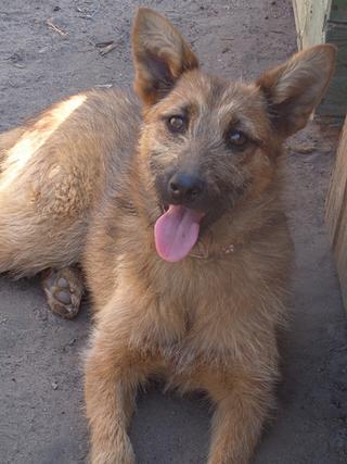 Fanni, Terriermischlingshündin, ca. 9 Monate 22023400ig