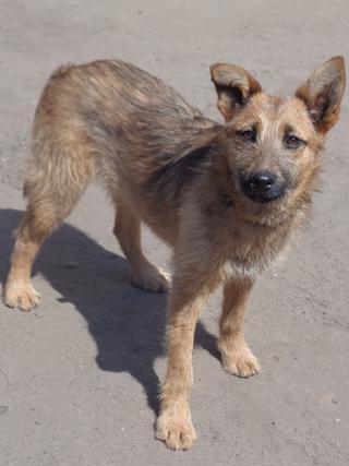 Fanni, Terriermischlingshündin, ca. 9 Monate 22023414vc
