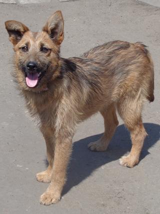 Fanni, Terriermischlingshündin, ca. 9 Monate 22023415dx
