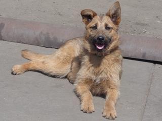 Fanni, Terriermischlingshündin, ca. 9 Monate 22023416yv