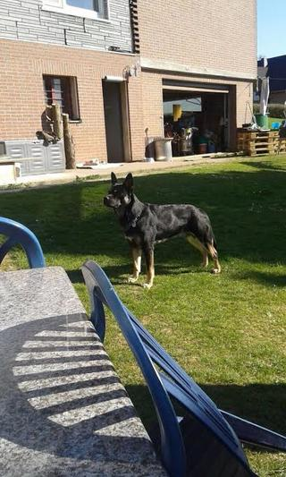 Zorro, Schäferhundmischlingsrüde, ca, 5 Monate 22082954wp