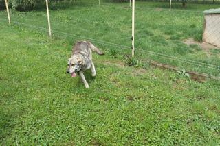 Tappancs, Mischlinsgrüde, geb. ca. April 2012 22112394fg