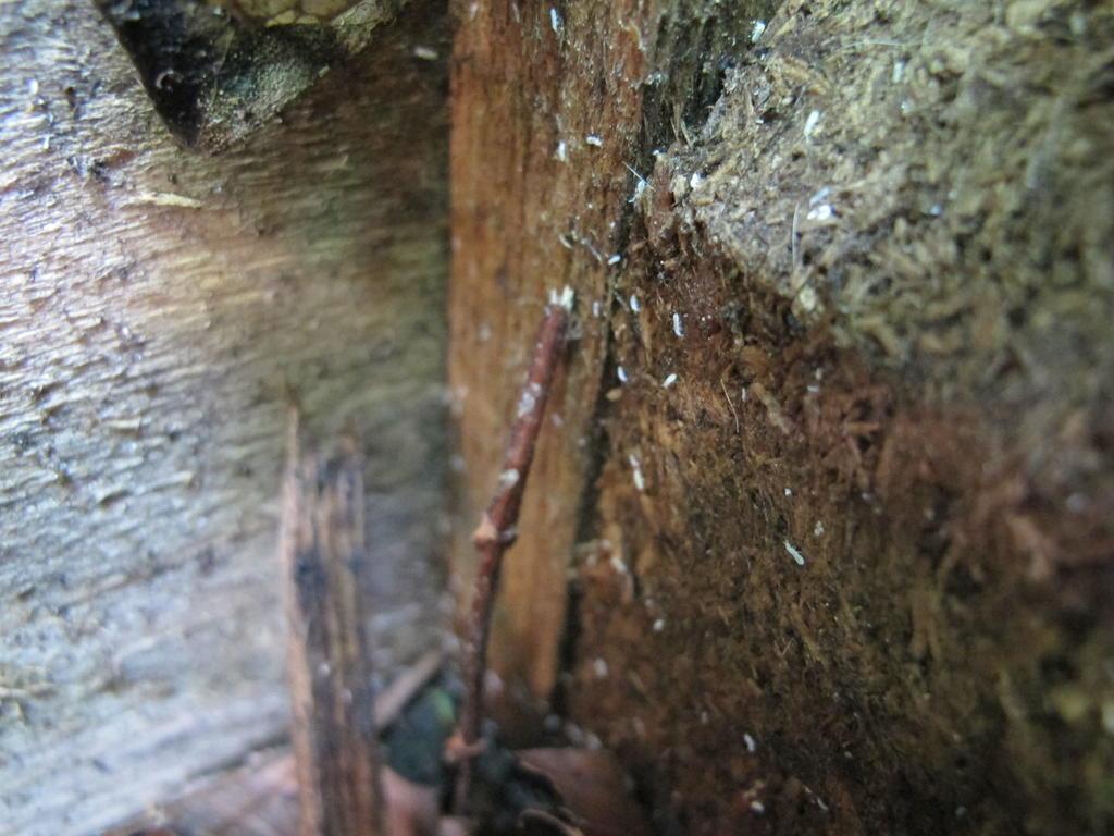bitte um hilfe der identifizierung kleine weisse insekten im hochbeet collembola. Black Bedroom Furniture Sets. Home Design Ideas