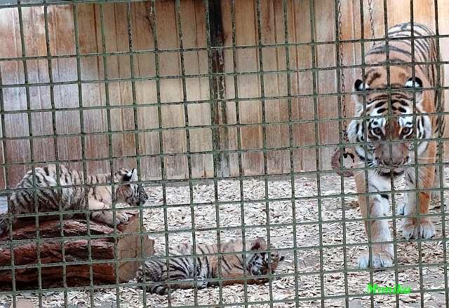 tigerbabys in der wildnis