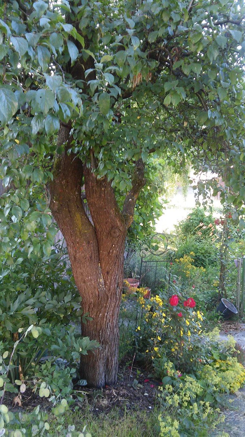 alten zwetschgenbaum als kletterger st erhalten seite 1. Black Bedroom Furniture Sets. Home Design Ideas