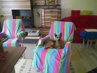Fanni, Terriermischlingshündin, ca. 9 Monate 22516391xa