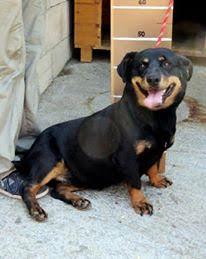 Lujza, Dackel-Rottweiler-Mischlingshündin, geb. ca. Februar 2013 22557531vx