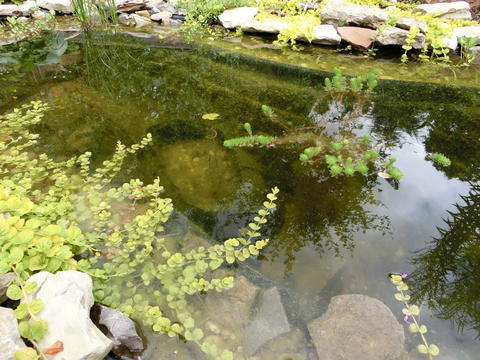 gallertartige algen im teich