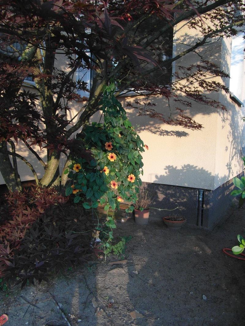 arifs gartenwelt schwarz ugige susanne thunbergia alata sonstige sommerbl her. Black Bedroom Furniture Sets. Home Design Ideas