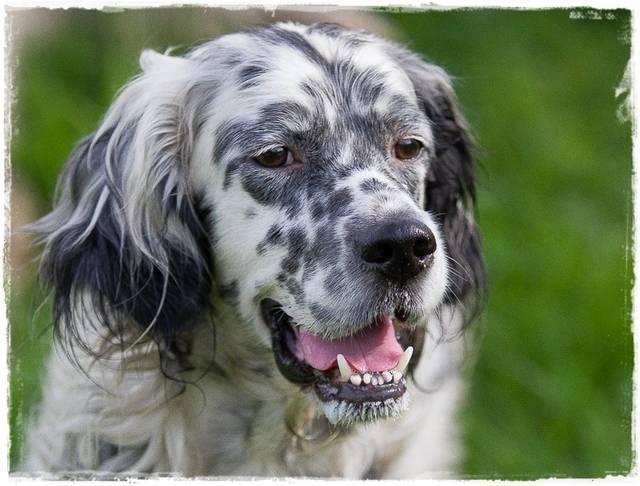Bildertagebuch - Domino, ein friedvoller Traumsetter im besten Alter! 22648222mc