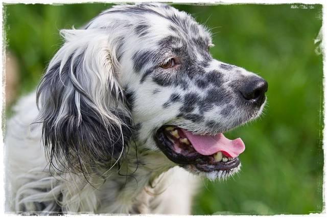 Bildertagebuch - Domino, ein friedvoller Traumsetter im besten Alter! 22649432ze