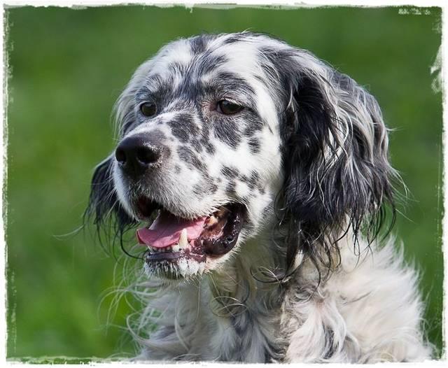 Bildertagebuch - Domino, ein friedvoller Traumsetter im besten Alter! 22649433cw