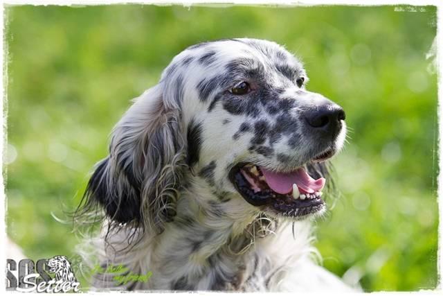 Bildertagebuch - Domino, ein friedvoller Traumsetter im besten Alter! 22649436mw