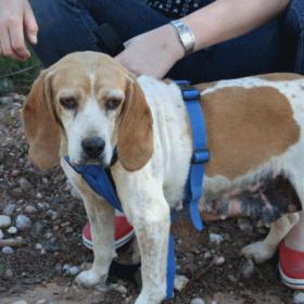 Kina, das liebe Beagle-Mädchen 22727837ac