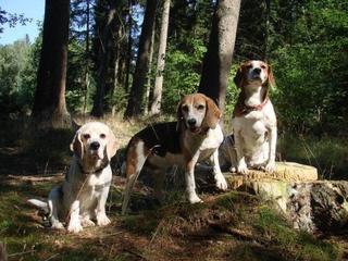 Hetty, Beagle-Basset-Mischlingshündin, ca. 7 Jahre 22831280dv