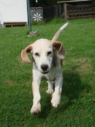 Hetty, Beagle-Basset-Mischlingshündin, ca. 7 Jahre 22885119xu